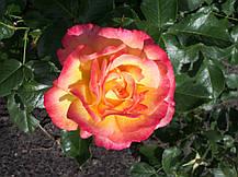 Роза Бонанза (Bonanza) Шраб, фото 3
