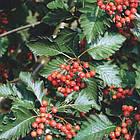 Саженцы Рябины скандинавской или промежуточной (Strobus intermedia), фото 2