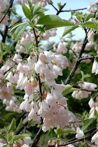 Галезия каролинская (ландышево дерево)