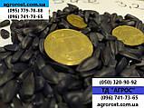 Гибрид подсолнечника ЗЛАТСОН, Высокоурожайные семена подсолнечника Златсон купить в Украине. Экстра, фото 2