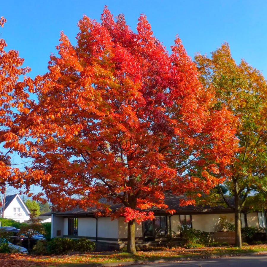 Саженцы Дуба красного (Quercus rubra)