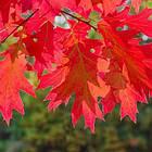 Саженцы Дуба красного (Quercus rubra), фото 2