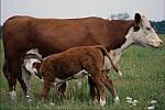 Диагностика и контроль боли и воспаления при маститах у коров.