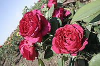 Ля Роз де Катрэ Вен, фото 3