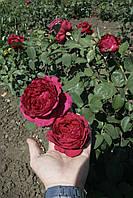 Ля Роз де Катрэ Вен, фото 5