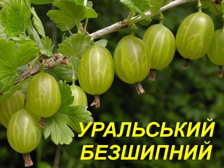 """Саженцы крыжовника """"Уральский бесшипный"""" 2 года"""
