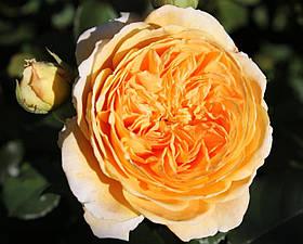 Роза Краун Принцесса Маргарет (Crown Princess Margareta) анг., фото 2