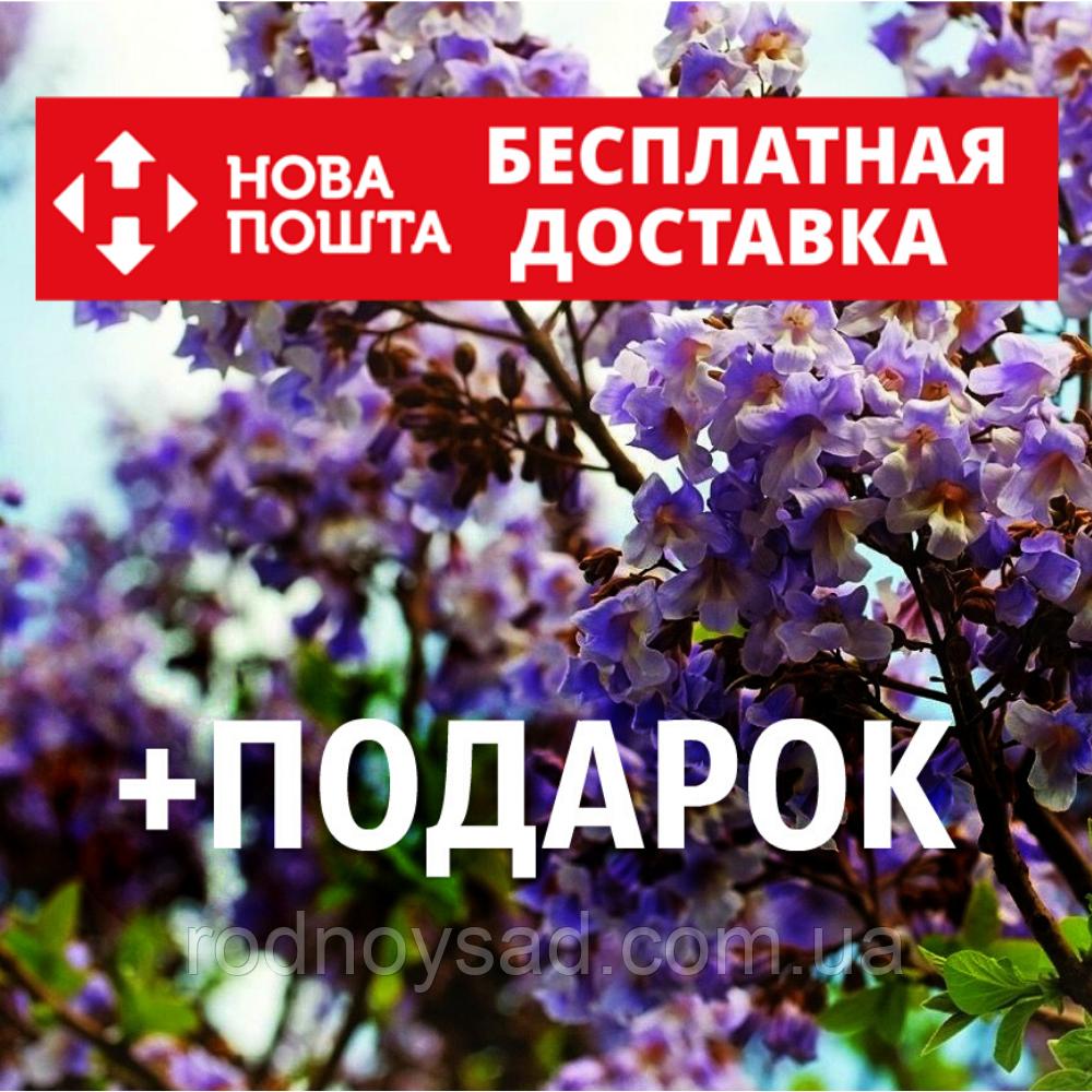 Павловния войлочная семена (около 5000 шт) для саженцев, насіння Paulównia tomentósa + инструкция + подарок