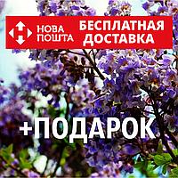 Павловния войлочная семена (около 5000 шт) для саженцев, насіння Paulównia tomentósa + инструкция + подарок, фото 1