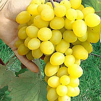 Виноград Деметра - ранне-среднего срока, крупноплодный, морозостойкий