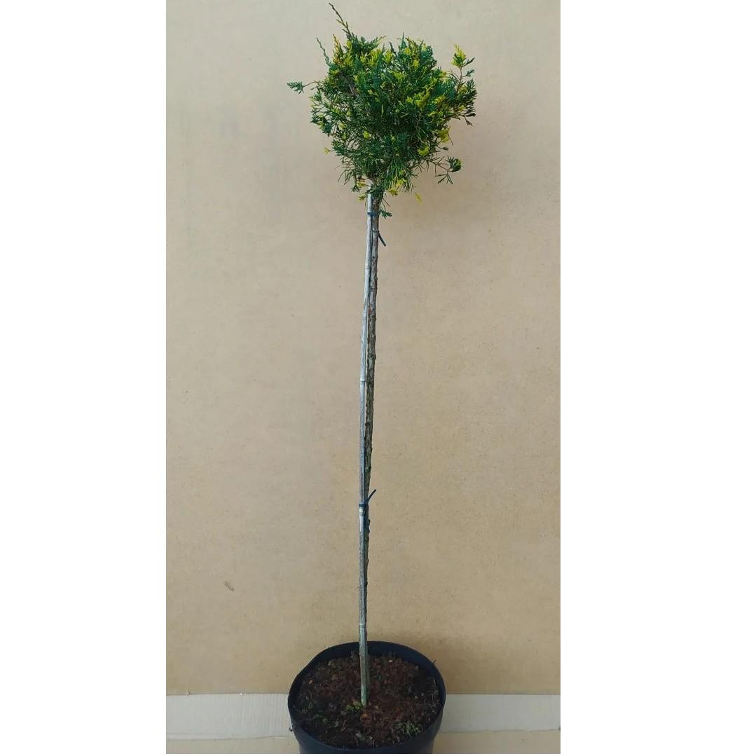 Juniperus chinensis Plumosa Aureovariegata