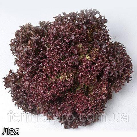 Салат тип Лола Росса, Лея, 5000 семян Enza Zaden