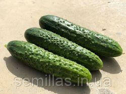 Семена огурца Баде F1 (Bade F1). 500 сем., партенокарпического