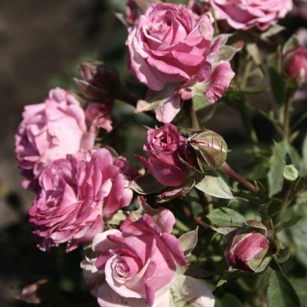 Роза Лили Венди