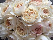 Роза Крим Пьяже (Cream Piaget) ч/г, фото 2
