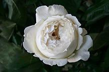Роза Крим Пьяже (Cream Piaget) ч/г, фото 3