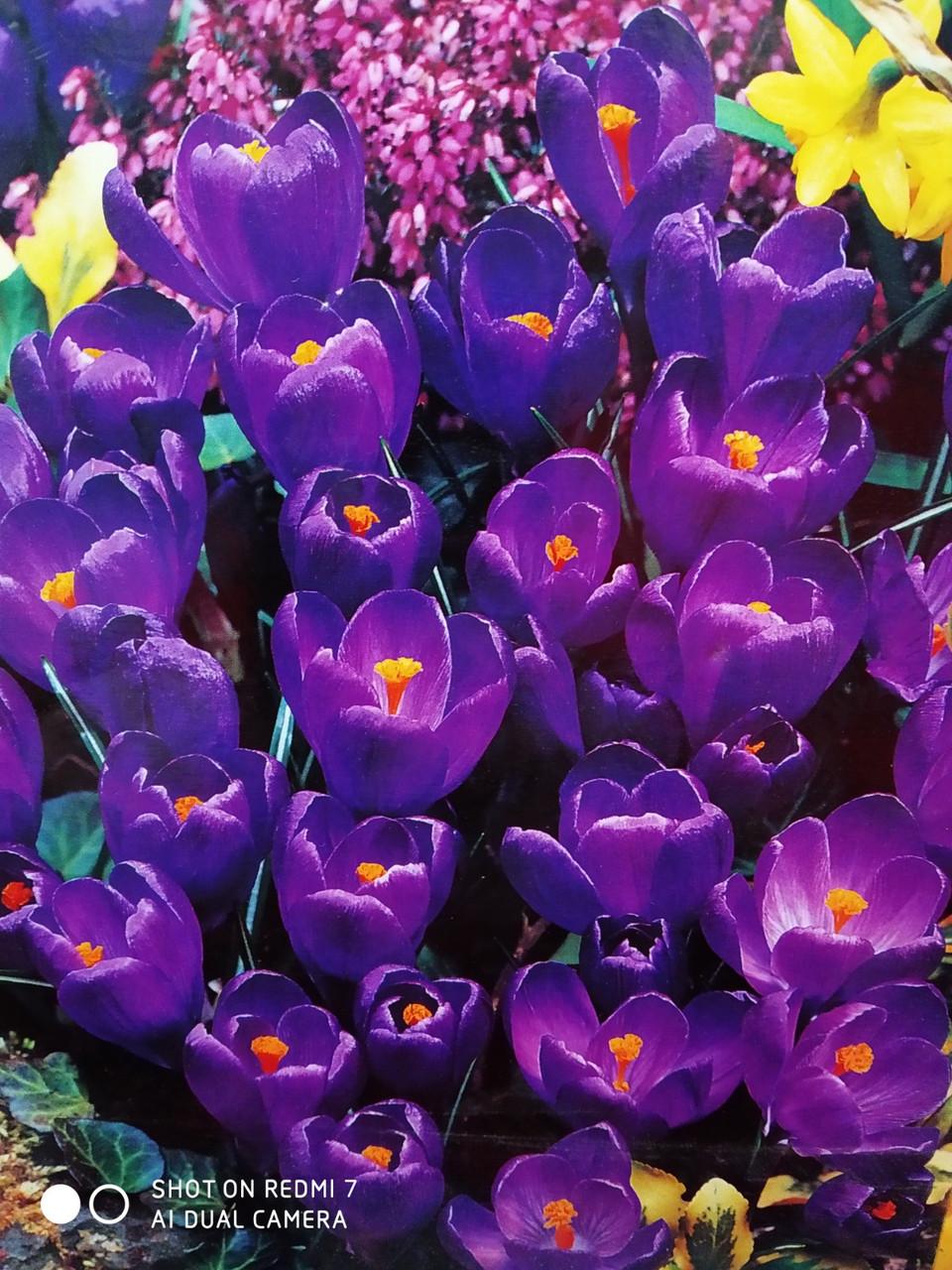 Крокус крупноцветковый маточник пурпурный луковица Crocus Purpureus Grandiflorus на выгонку 1 шт 8/9 Голландия