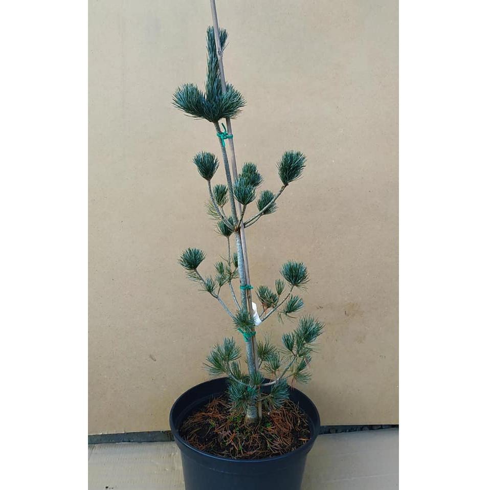 Pinus parviflora Glauca