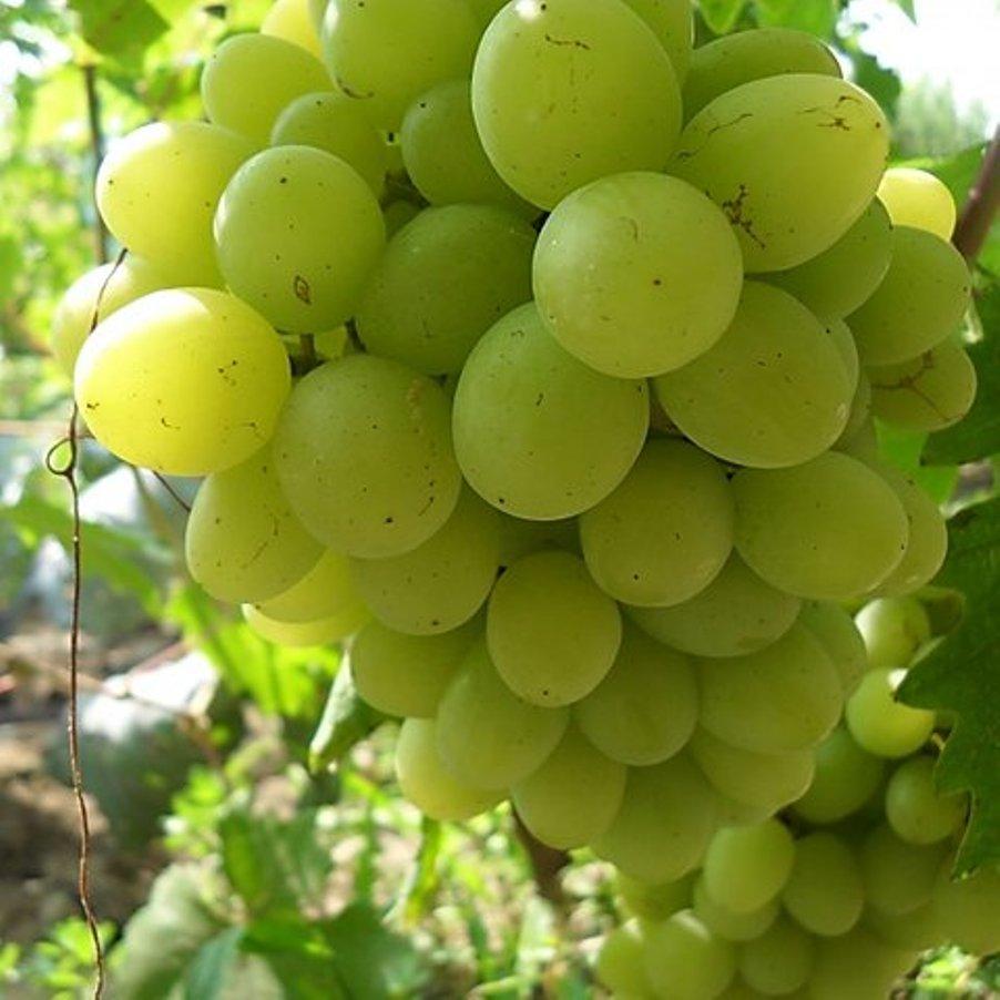 Вегетуючі саджанці столового винограду Вальок - дуже раннього терміну, урожайний, зимостійкий