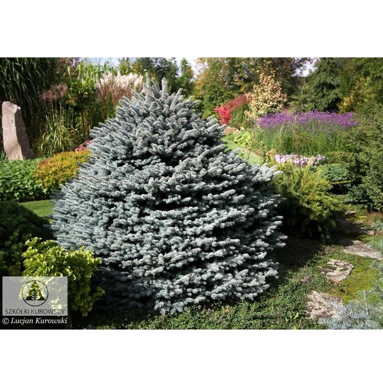 Picea pungens Pyramidalis Compacta