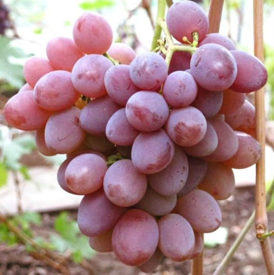 Саджанці Винограду Дашуня - раннього терміну, транспортабельний, урожайний