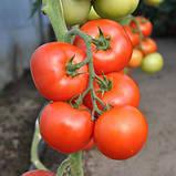 """Насіння томату високорослої, раннього, врожайного """"Абелус"""" F1 (10 насіння) від Rijk Zwaan, Голландія, фото 2"""