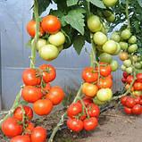 """Насіння томату високорослої, раннього, врожайного """"Абелус"""" F1 (10 насіння) від Rijk Zwaan, Голландія, фото 3"""