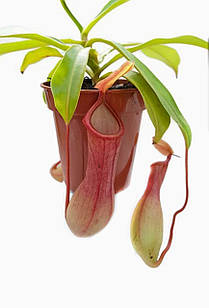 Растение хищник Непентес Алата AlienPlants Nepenthes Alata (SUN005CP)