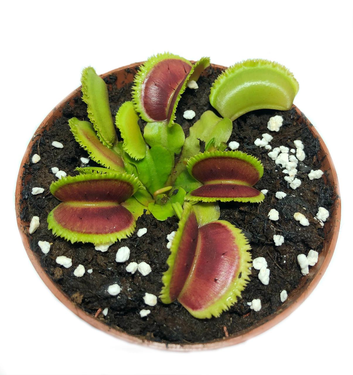 Растения Хищник Венерина мухоловка Дентата AlienPlants Dionaea muscipula Dentate M (SUN0018CP)