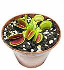 Растения Хищник Венерина мухоловка Дентата AlienPlants Dionaea muscipula Dentate M (SUN0018CP), фото 2