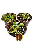 Растения Хищник Венерина мухоловка Дентата AlienPlants Dionaea muscipula Dentate M (SUN0018CP), фото 3