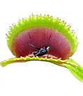 Растения Хищник Венерина мухоловка Дентата AlienPlants Dionaea muscipula Dentate M (SUN0018CP), фото 4