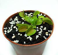 Растение хищник AlienPlants Венерина Мухоловка Дионея S в горшке (SUN0020CP)