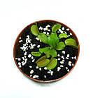 Растение хищник AlienPlants Венерина Мухоловка Дионея S в горшке (SUN0020CP), фото 2