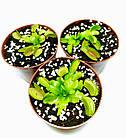 Растение хищник AlienPlants Венерина Мухоловка Дионея S в горшке (SUN0020CP), фото 3