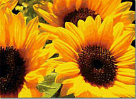 Купить семена подсолнечника Янина
