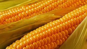 Купить Семена кукурузы НС-3033