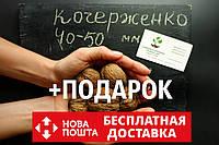 Орех Кочерженко калибр 40-50 мм семена 10 шт грецкий для саженцев насіння горіх волоський  на саджанці