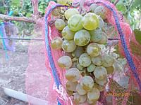 Саженцы  технического  винограда Первенец  Магарача