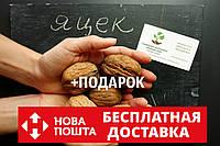"""Орех грецкий """"Яцек"""" семена (10 шт) калибр 40-50 мм для выращивания саженцев горіх насіння на саджанці+подарок"""
