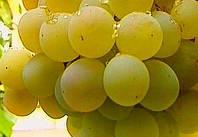 Саженцы винограда Антоний Великий, столовый белый