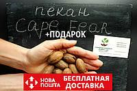 """Пекан (10 штук) сорта """"Cape Fear"""" (ранний) семена орех кария для выращивания саженцев (насіння на саджанці)"""