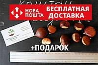 Семена каштан съедобный(3-8 грамм) 10 штук Castánea satíva посевной, орехи для саженцев(насіння для саджанців)