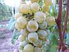 Саженцы  универсального  сорта  винограда Мускат  Голодриги
