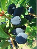 Жимолость съедобная Голубое веретено (саженцы 2года)