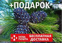 Кедр европейский семена 20 шт (сосна кедровая) для саженцев Pinus cembra насіння на саджанці