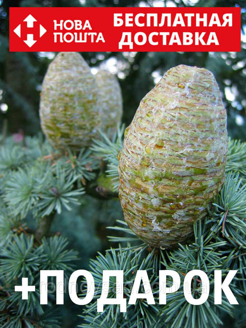 Кедр атласский семена 10 шт (Cédrus atlántica) для саженцев насіння на саджанці