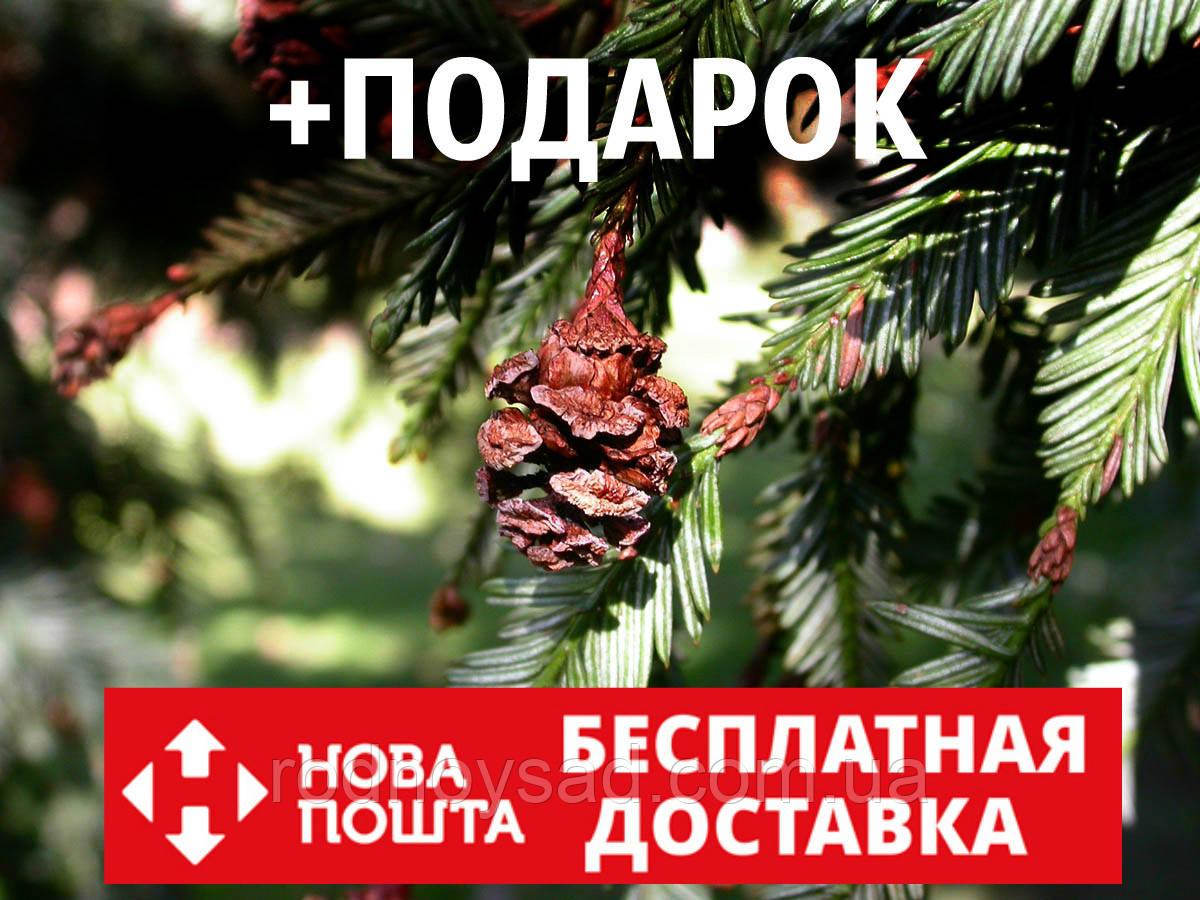 Секвойя семена 10 шт (вечнозелёная, красная, Sequoia sempervirens) для саженцев насіння на саджанці