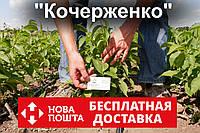 Саженцы грецкий орех сорт «Кочерженко» (саджанці волоський горіх)