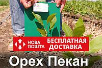 Пекан орех саженец (однолетний) кария саджанці горіх карія однорічний (вкуснее грецкого) Carya illinoinensis, фото 1